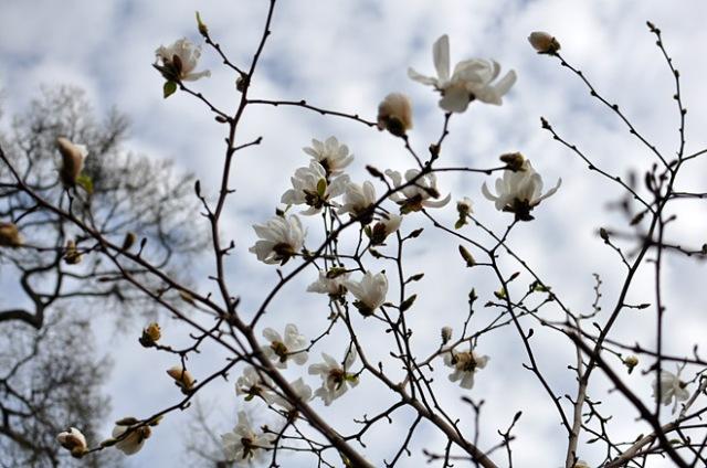 magnolia-kukkii