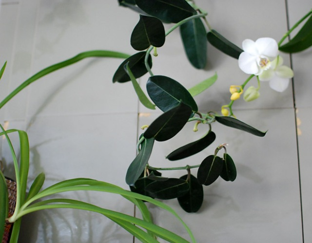 roikkuva-orkidea