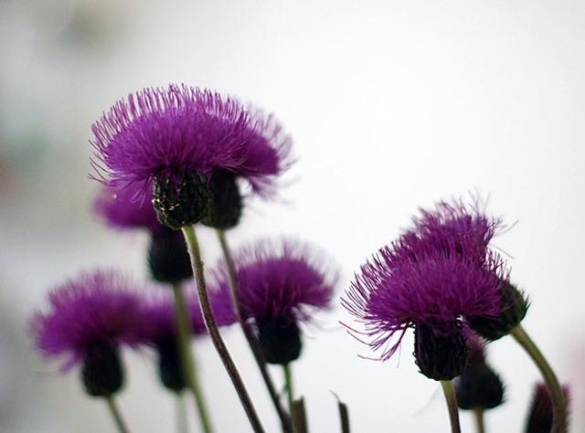 violetit-kukat