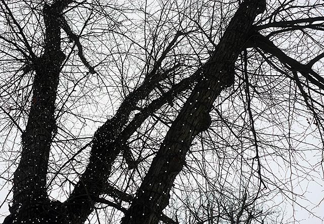 musta-puu
