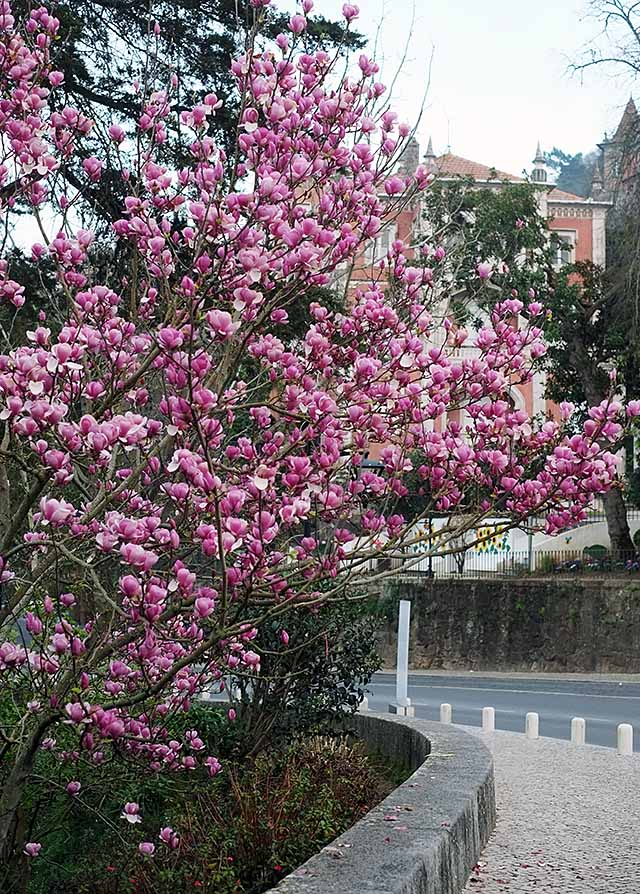 magnoliat-1