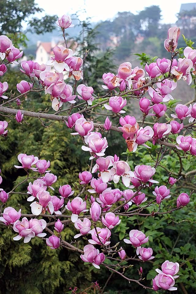 magnoliat-2