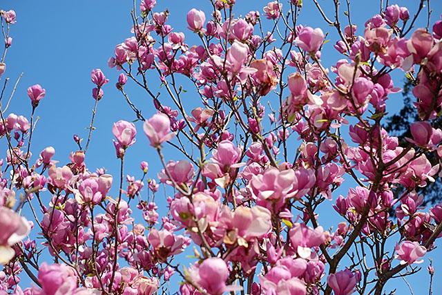 magnoliat
