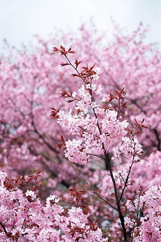 cherry-tree-4
