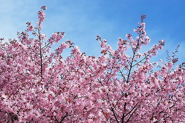 cherry-tree-6