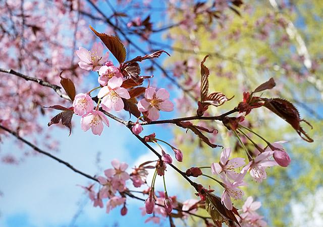 cherry-tree-7