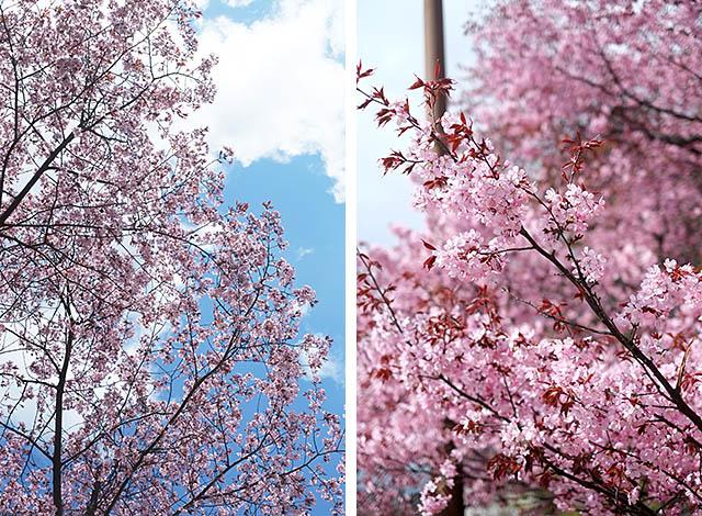 cherry-tree-8