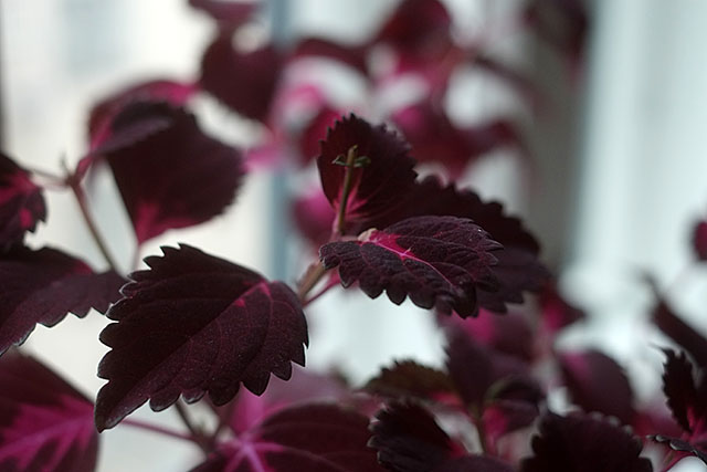 violetti-varinokkonen