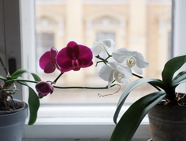 orkidea-2