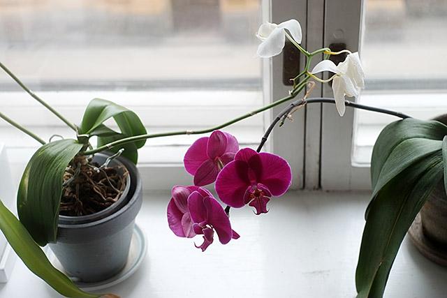 orkideat-ikkunalaudalla-2