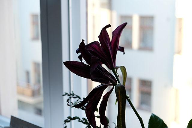 liljat-ikkunalaudalla-1