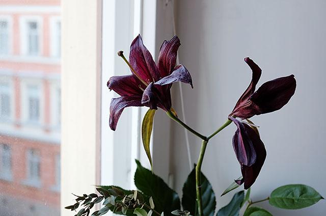 liljat-ikkunalaudalla